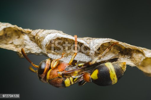 istock hornet defend perched on nest in the park. 972704120