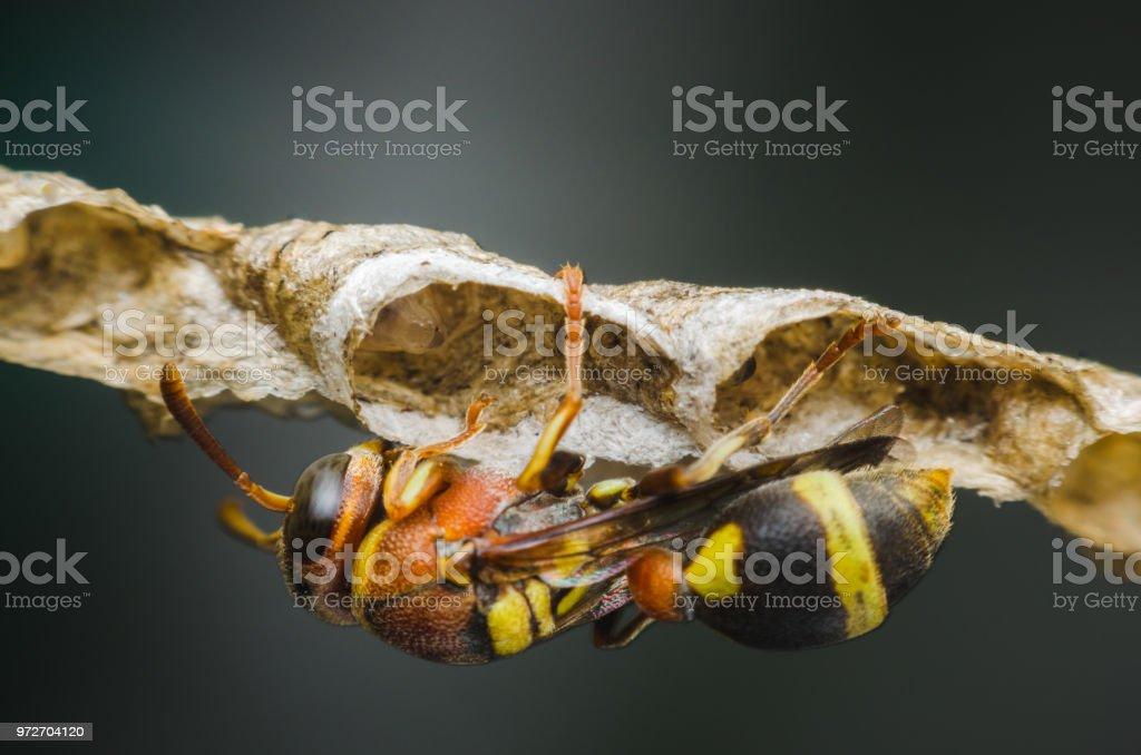 Hornet defienden encaramado en el nido en el parque. - foto de stock