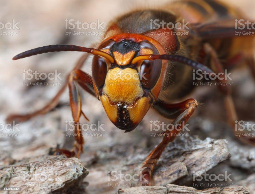 Hornet en face stock photo