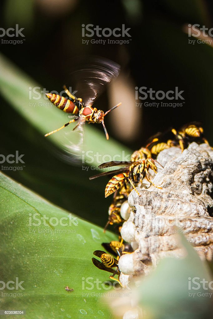 Hornet In flight above nest stock photo