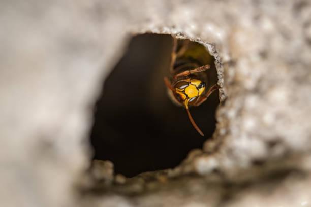 hornet in its nest - calabrone ape foto e immagini stock