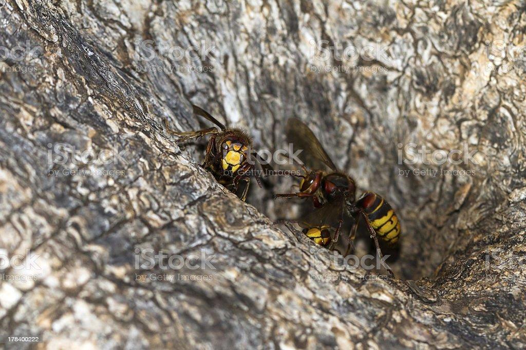 Hornet nest stock photo