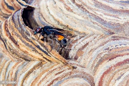 istock Hornet nest with hornet sitting on it. Hornet polist. The nest of a family of Hornet which is taken a close-up.Vespa affinis hornet family 817588690