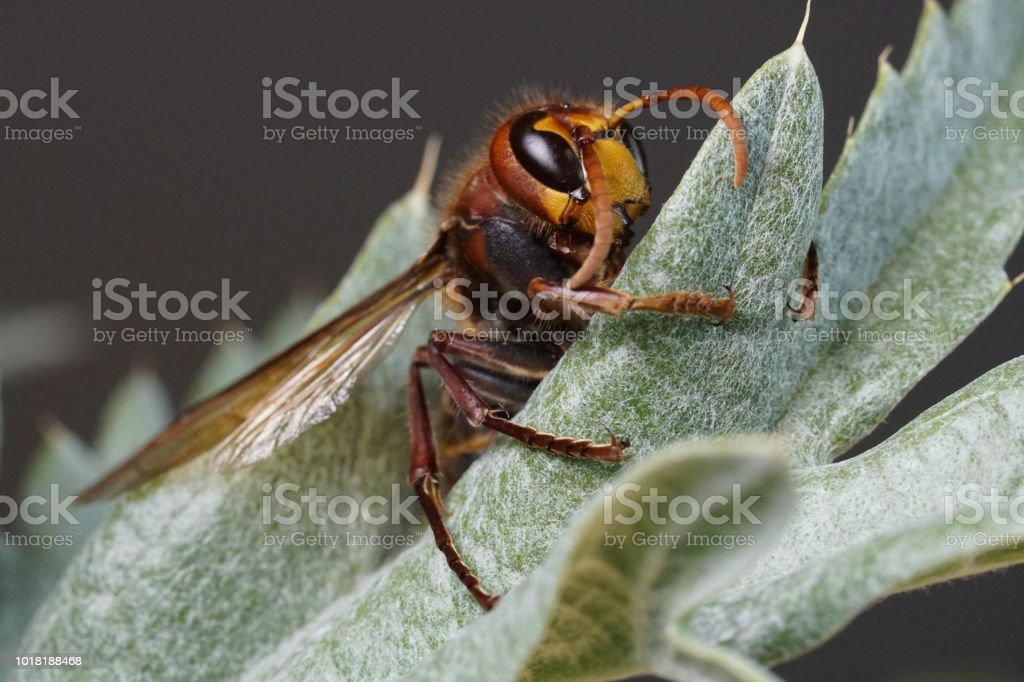 Hornet on a leaf stock photo