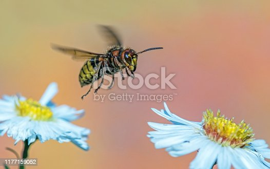 Hornet on Aster,Eifel,Germany. Please see more than 1000 insect pictures of my Portfolio. Thank you!