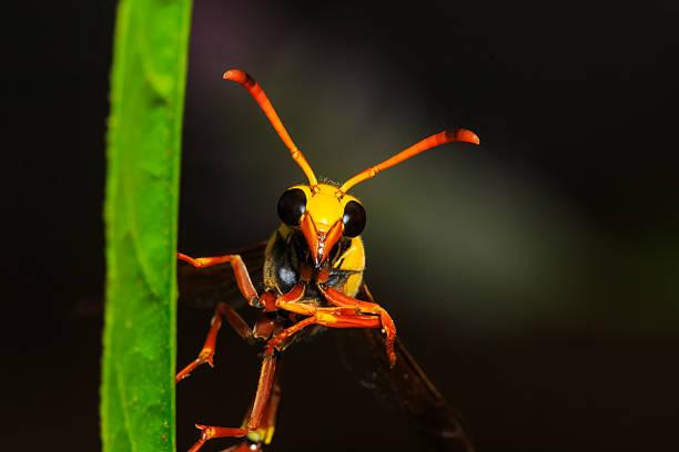 hornet on green grass leaf - eierstich stock-fotos und bilder