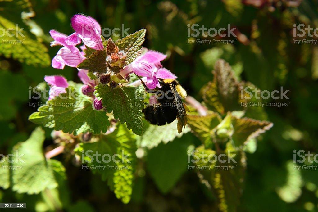 Hornet On Nettle Plant stock photo