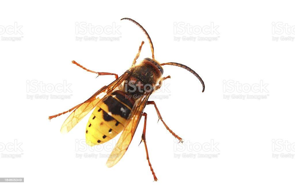 Hornet on white background stock photo