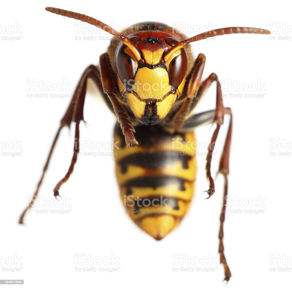 hornet royalty-free stock photo