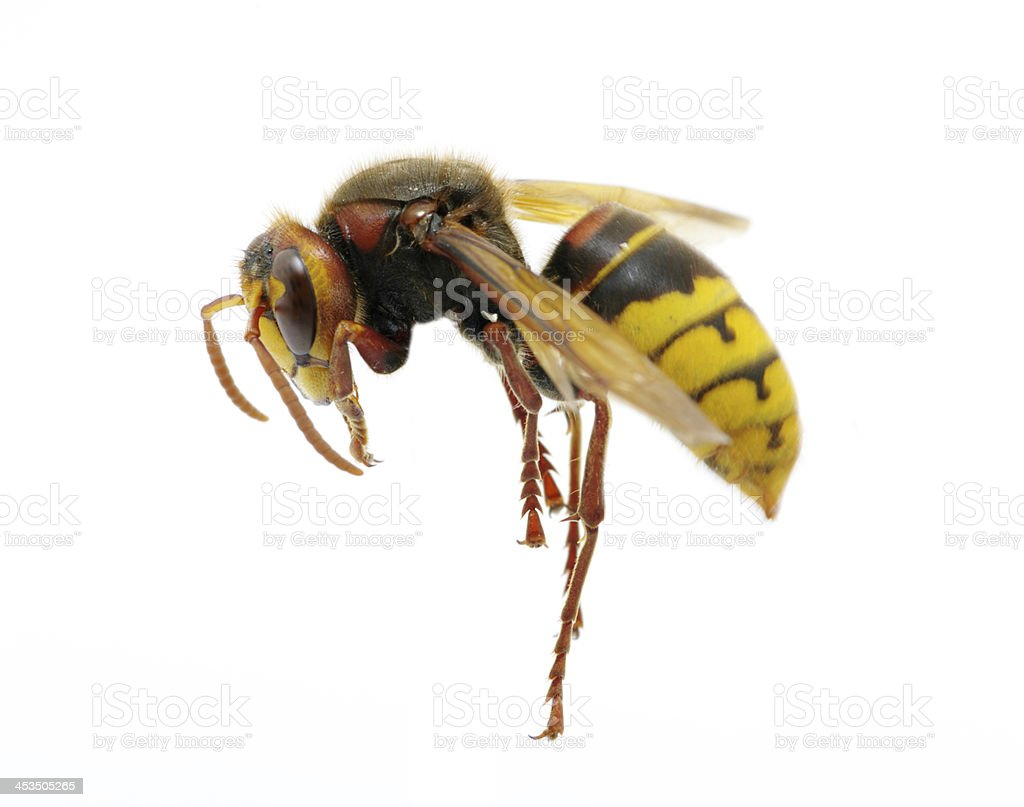 hornet royalty-free stock photo
