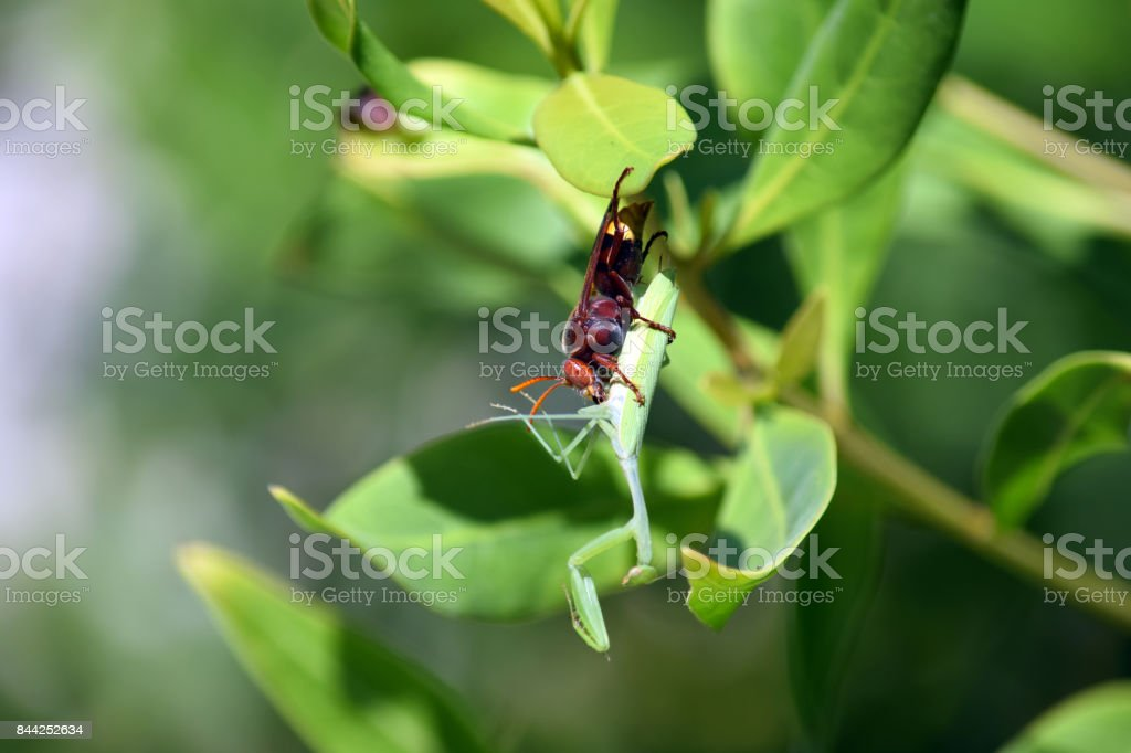 大黃蜂 - 免版稅中東圖庫照片