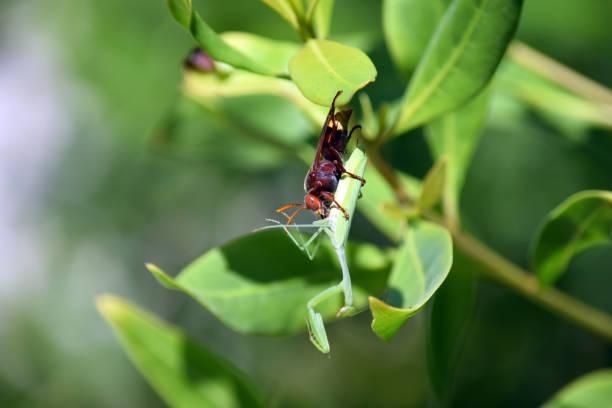 大黃蜂 - murder hornet 個照片及圖片檔