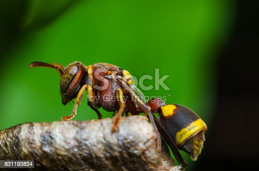 istock hornet protect larvae on nest. dangerous insect and poisonous make human hurt. 831193834
