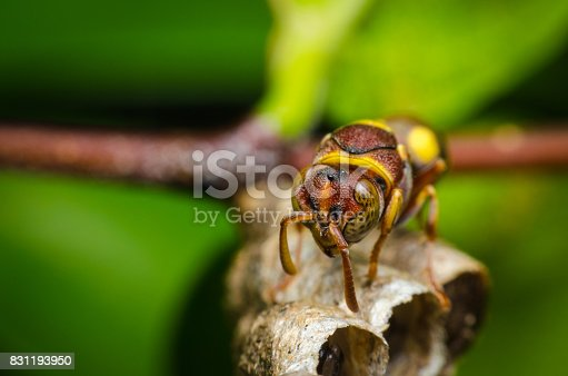 972704120istockphoto hornet protect larvae on nest. dangerous insect and poisonous make human hurt. 831193950