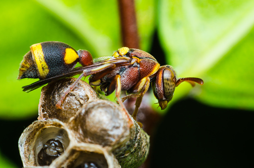 istock hornet protect larvae on nest. dangerous insect and poisonous make human hurt. 831193966