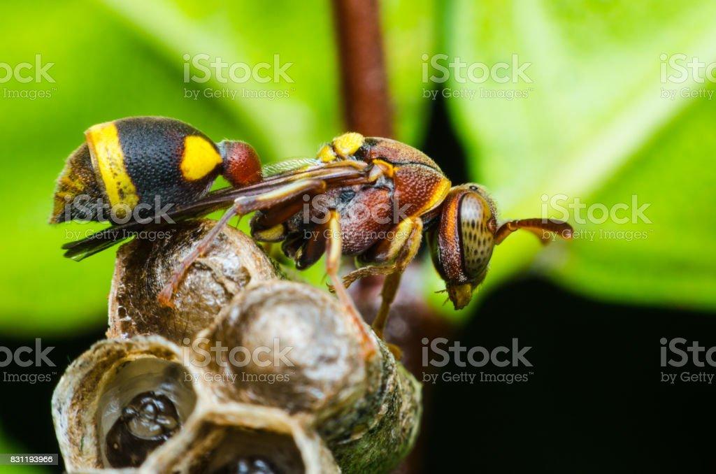 Hornet proteger las larvas en el nido. insectos peligrosos y venenosos hacen daño humano. - foto de stock