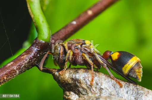 972704120istockphoto hornet protect larvae on nest. dangerous insect and poisonous make human hurt. 831194184
