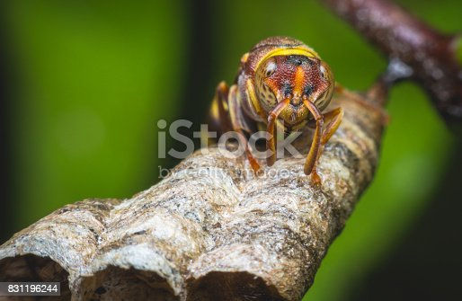 972704120istockphoto hornet protect larvae on nest. dangerous insect and poisonous make human hurt. 831196244