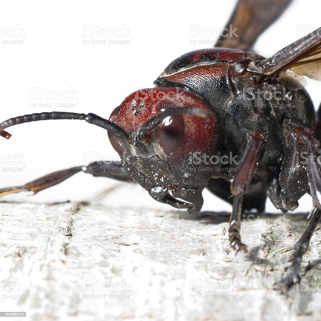hornet wasp royalty-free stock photo