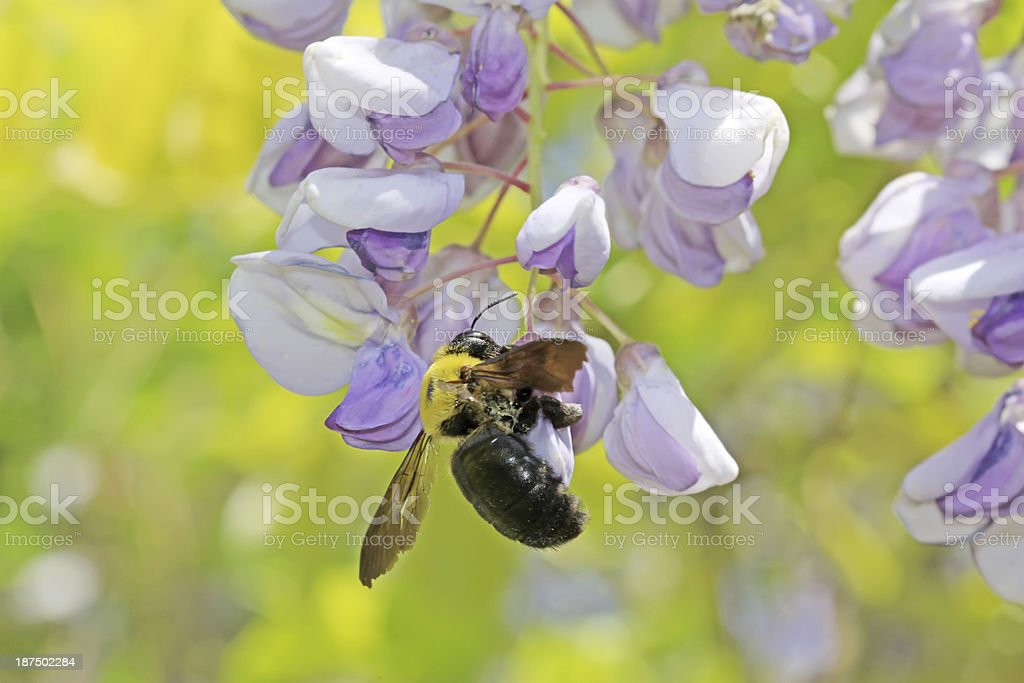 Hornets And Wisteria Flowers Bud In A Garden Stock Photo