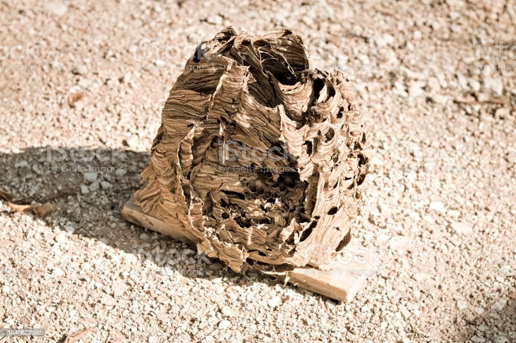 Hornets Beehive Nest Of Wasps Stock Photo - Download Image Now - iStock