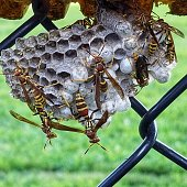 A hornet nest on a fence at a ball field