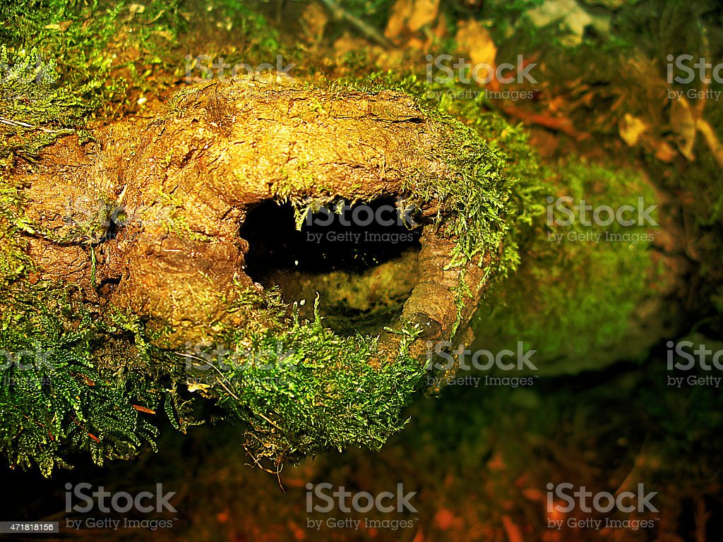 Hornet's nest in a tree hollow stock photo