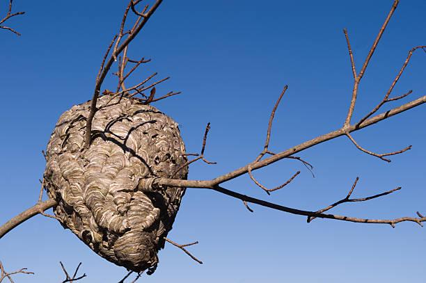 hornet's nest - bienenstock stock-fotos und bilder