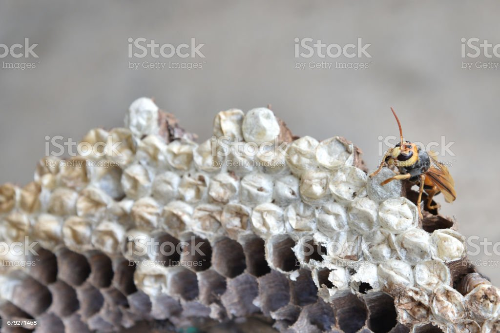 hornet's nest with larva. wasps' nest with larva - foto de stock
