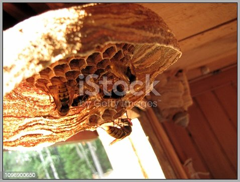 A July picture with hornets in a nest under construction. We see the first cells (Småland, Sweden)