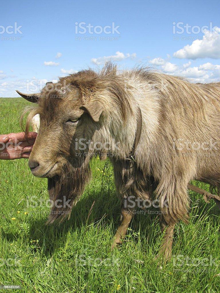 Hornless capra marrone foto stock royalty-free