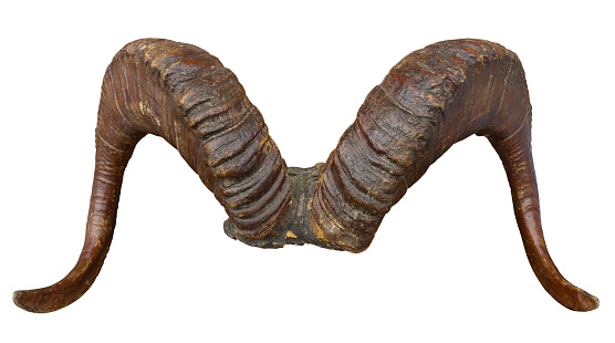 Antiques Atlas - Mounted Highland Cattle Horns C.1910.