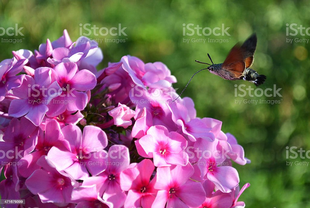 hornworm butterfly drinking nectar from of phlox royalty-free stock photo