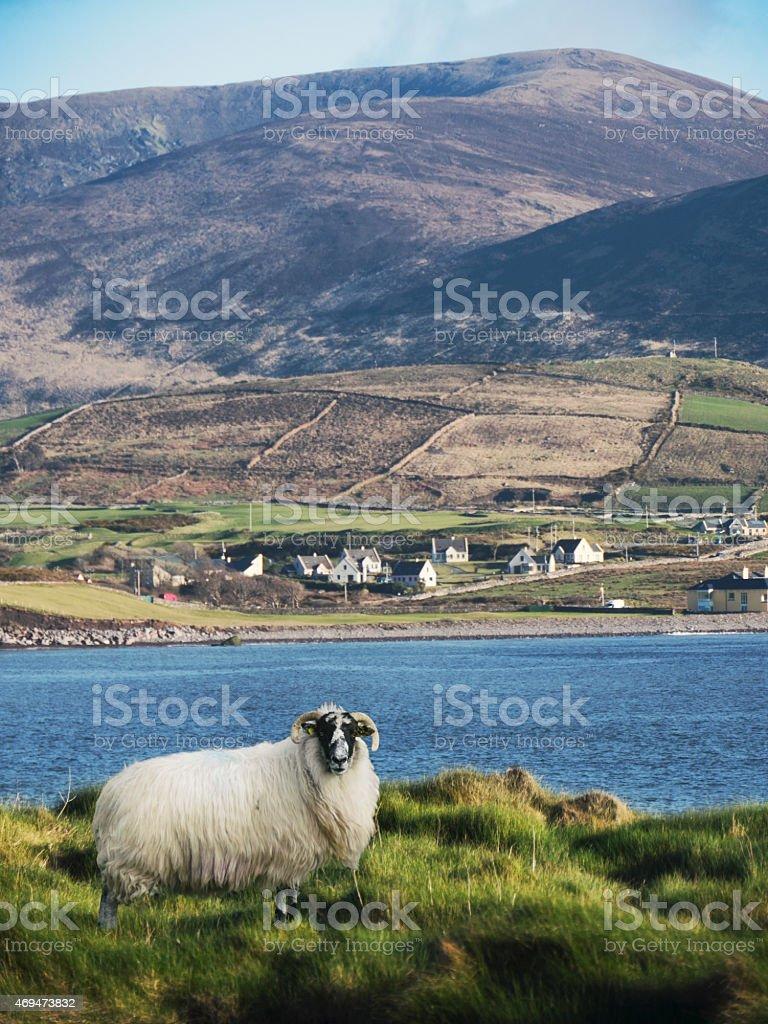 Horny sheep of Kerry Ireland stock photo
