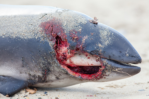 Horrific bloody wound of a dead porpoise. Mutilated animal corpse. Partially eaten body as a template for zombie and stage make-up but speculation is that it actually died of plastic pollutant poisoning in the sea.