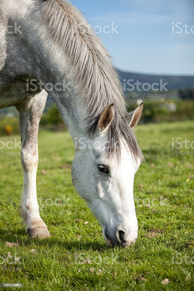 Horse 6 years old, eating  fresh grass on a field royalty-free stock photo
