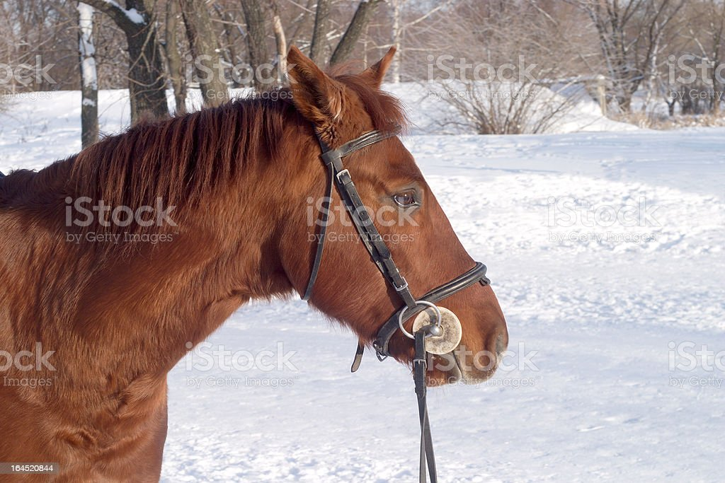 Horse against winter forest landscape royalty-free stock photo