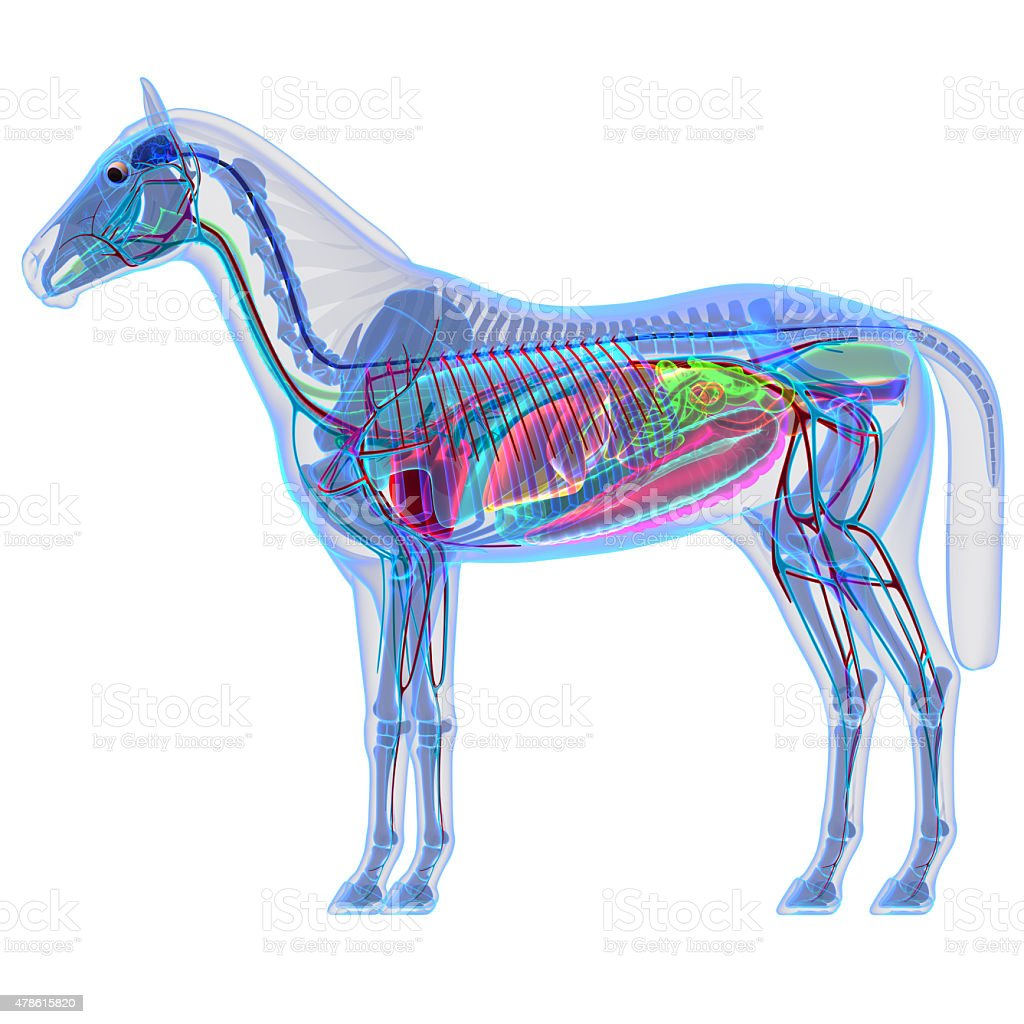 Horse Anatomy Internal Anatomy Of A Horse Stock Photo & More ...