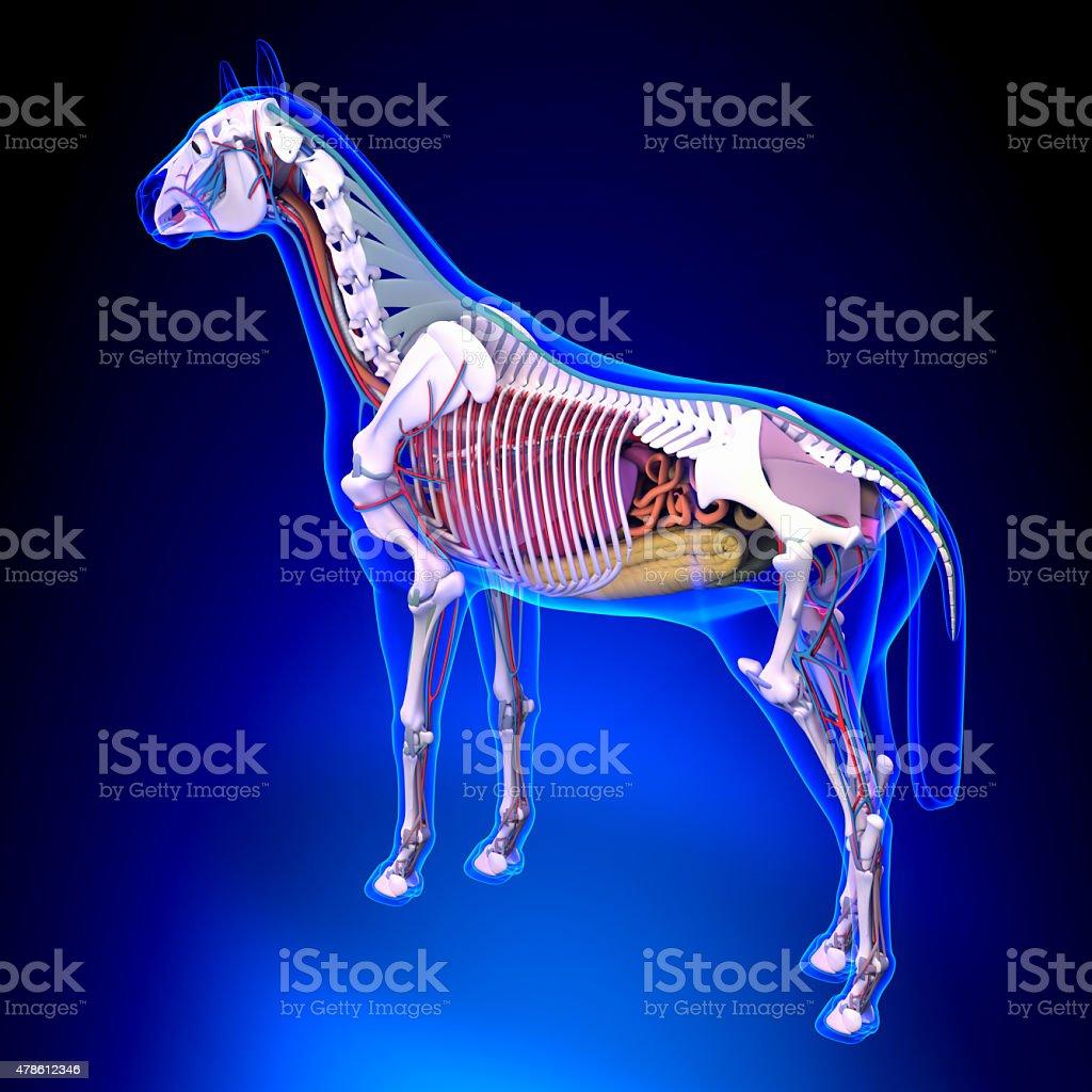 Fotografía de Horse Anatomíainterno De Anatomía De Caballos Vista ...