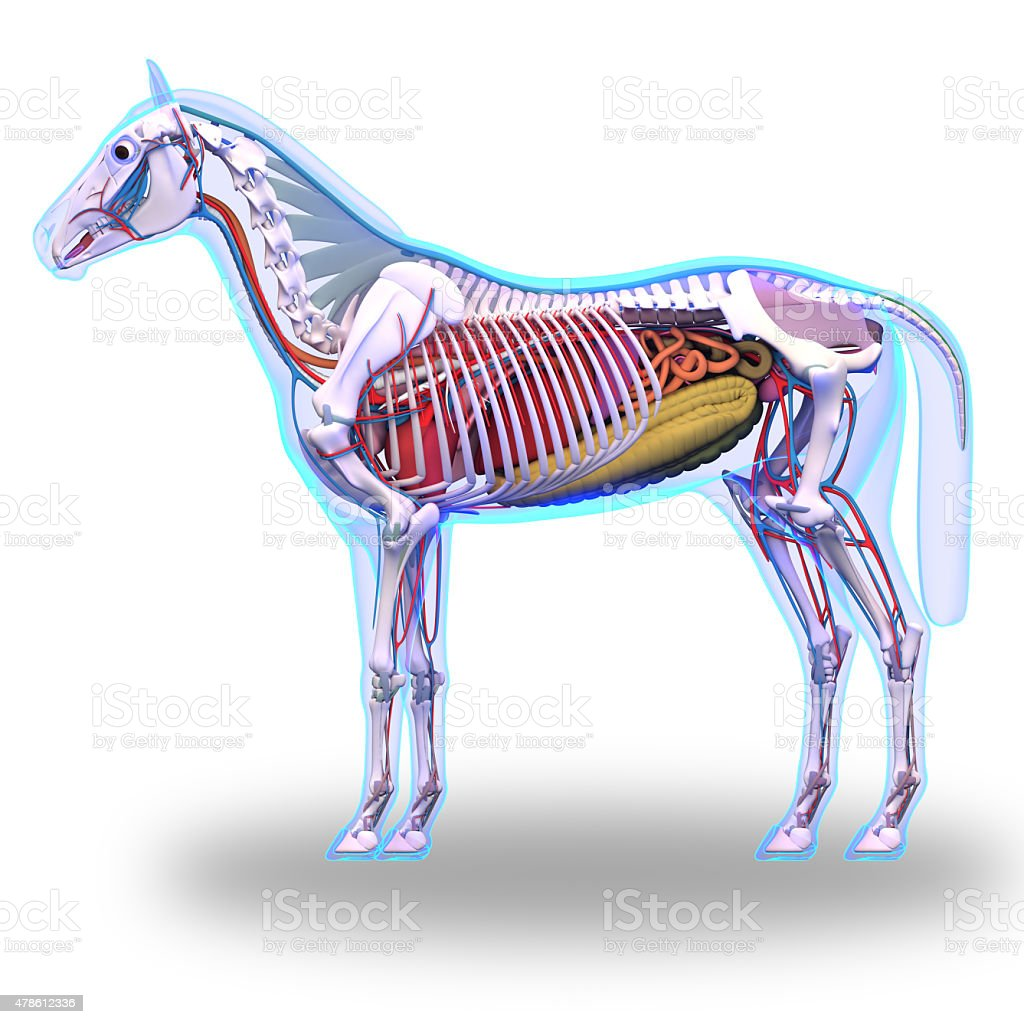 Horse Anatomy Internal Anatomy Of Horse Isolated On White Stock ...