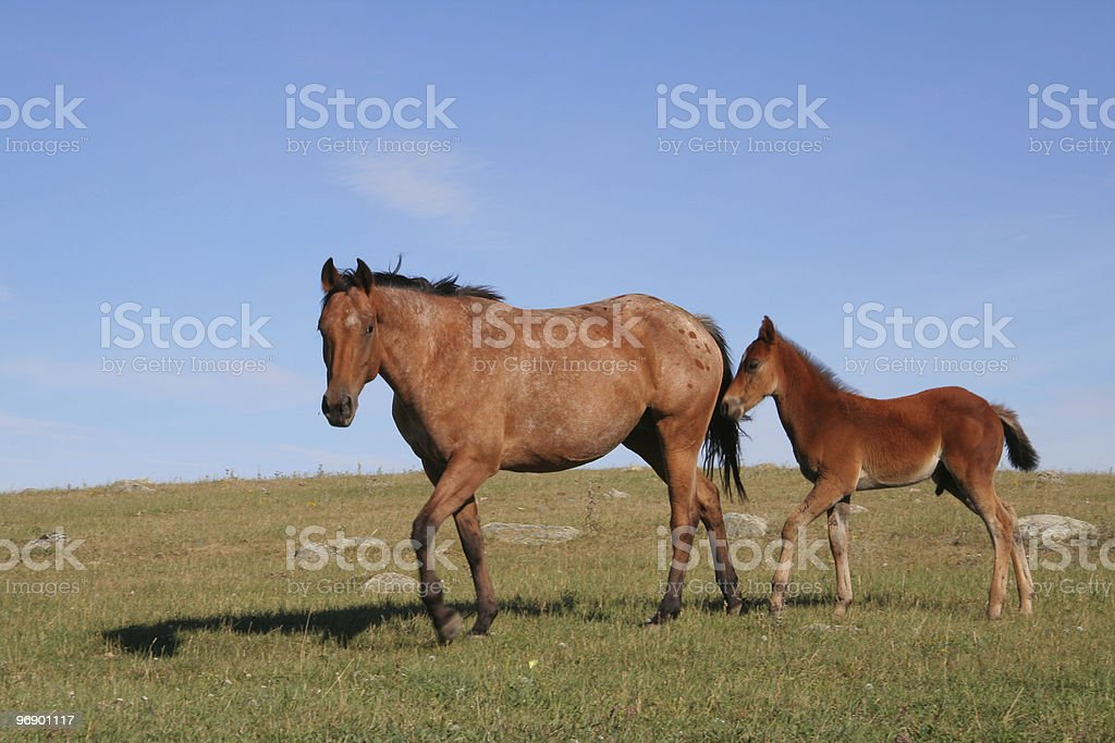 Horse and Colt Following royalty-free stock photo