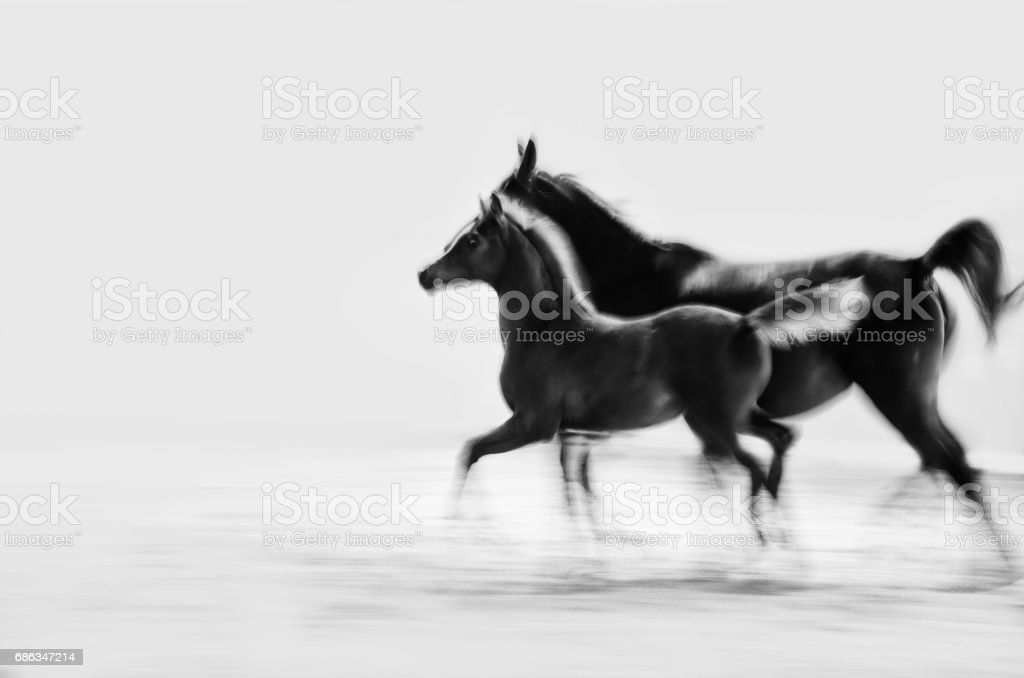 horse and foal galloping - monochrome, sepia, vintage stock photo