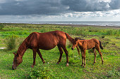Horse and foal grazing by the sea