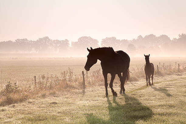 horse and foal silhouettes in fog foto