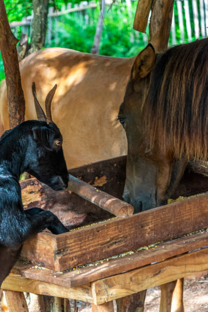 Horse and goats eating corn stock photo