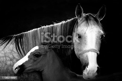 A horse and its mother with a dark background. Black and white photo.