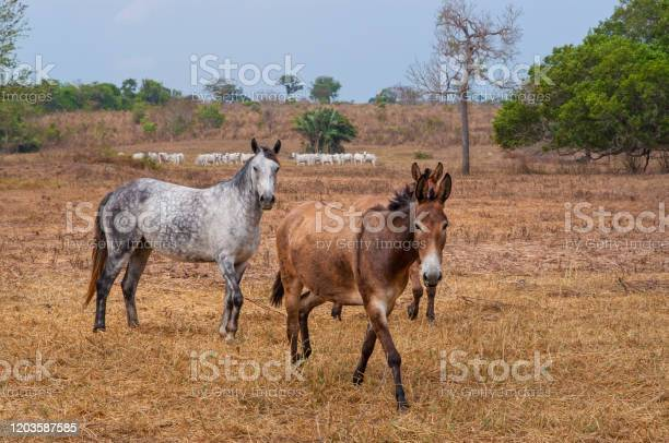 Photo of horse and mules in cattle pastures