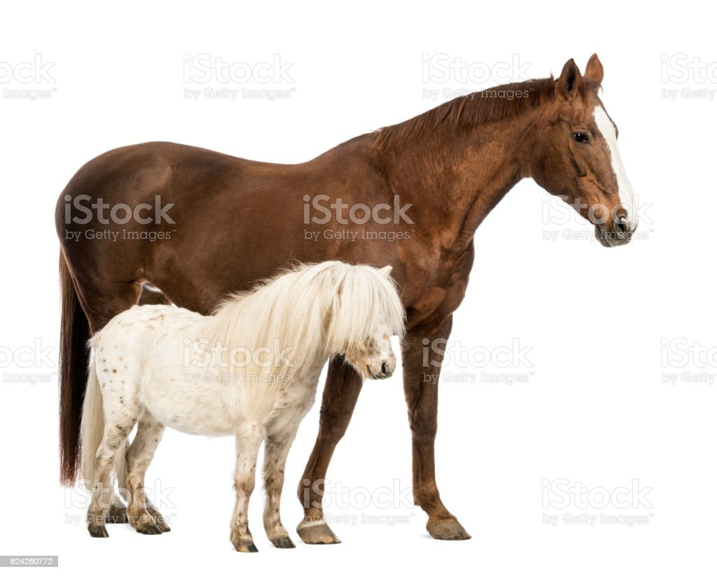 horse and shetland standing next to each other in front of white