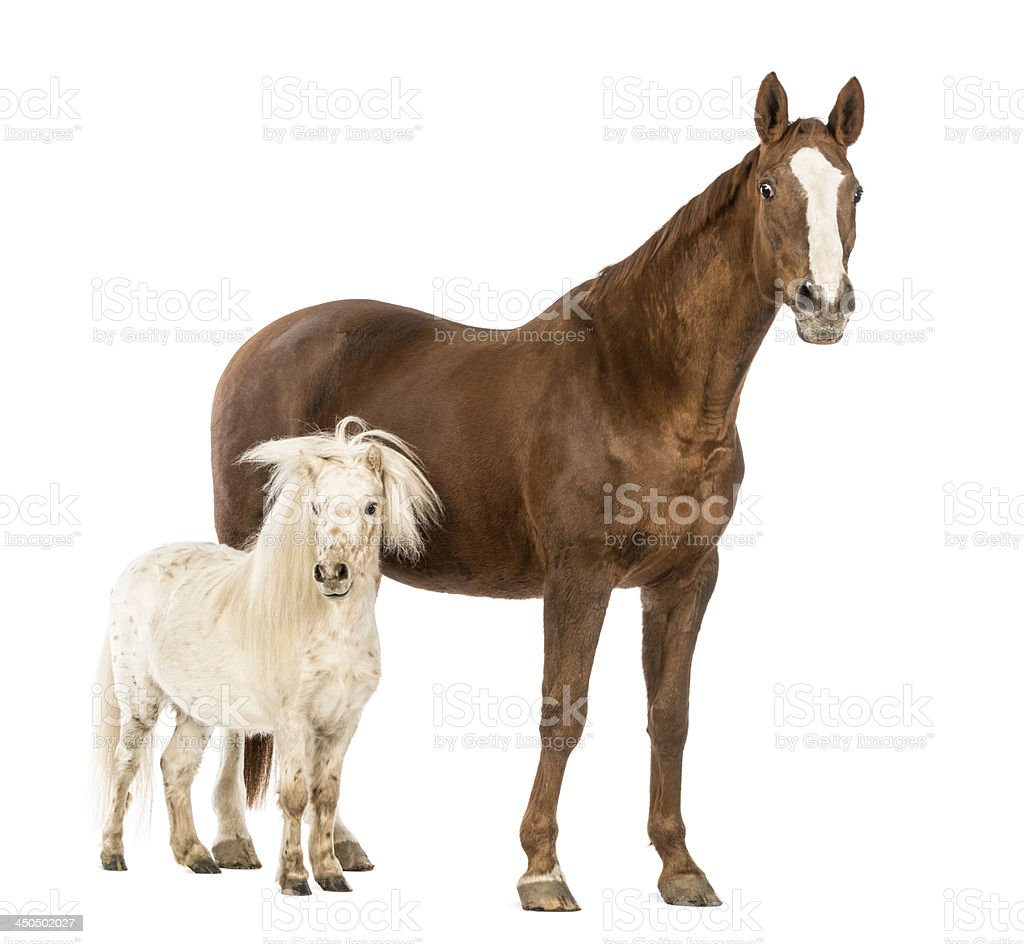 Horse and Shetland standing next to each other stock photo