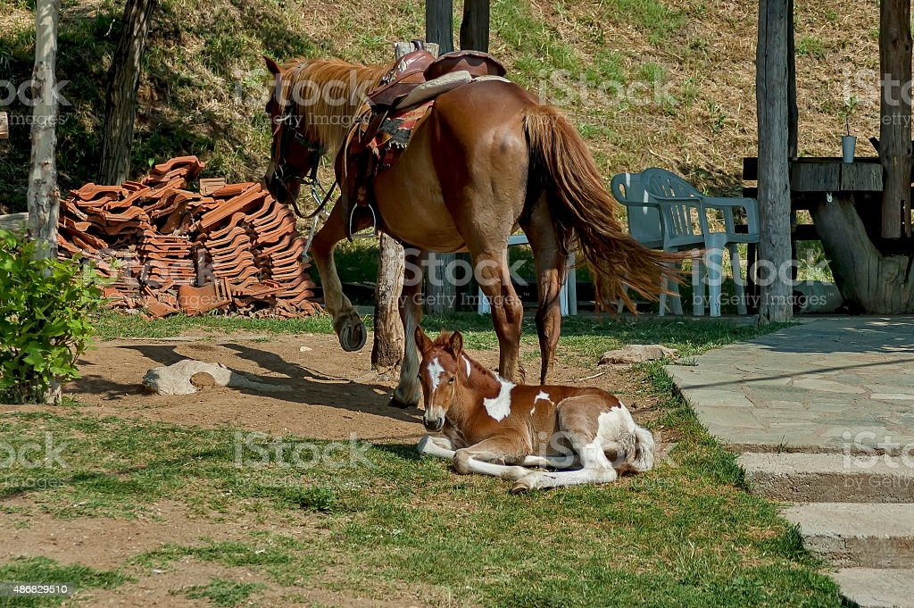 Horse and young foal by Kerkini lake stock photo